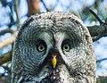 Great Grey Owl (Strix nebulosa) (14343999896).jpg