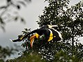 Great Hornbill in flight1.jpg