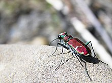 Green-Margined Tiger Beetle.jpg