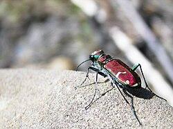 Green-Margined Tiger Beetle.jpg