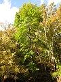 Green Ash - Flickr - treegrow (3).jpg
