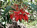 Grevillea victoriae subsp. victoriae.jpg