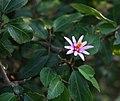 Grewia occidentalis 1.jpg