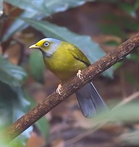 Grey-headed Bulbul.jpg