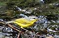 Grey-hooded warbler at Sattal DSCN1678-11.jpg