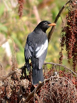 Grey-winged Blackbird Turdus boulboul Male by Dr. Raju Kasambe DSC 4018 (11).jpg