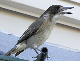 Grey Butcherbird Young Singing.JPG