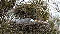 Grey Heron (Ardea cinerea) on nest ... - Flickr - berniedup.jpg