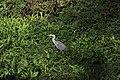 Grey Heron - Ardea cinerea (30675052927).jpg