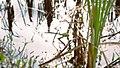 """Große Königslibelle (Anax imperator) an einem kleinen Teich im Naturschutzgebiet """"Westerwaldgrube bei Talheim"""".jpg"""
