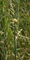 Grossenlueder Mues Kalkberge Allium Gall.png