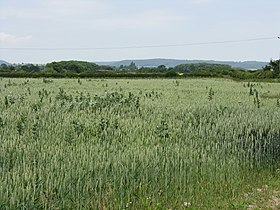 Growing Crops - Lower Lyde Farm - geograph.org.uk - 1376978.jpg