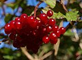 Guelder Rose berries - geograph.org.uk - 577557.jpg