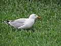 Gull Eats Pigeon (213078179).jpeg