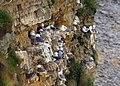 Gulls nesting on the cliff in Marsden Bay - geograph.org.uk - 1260788.jpg