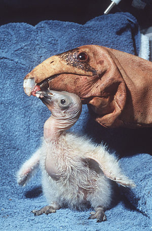 Condor chick being fed by condor feeding puppet