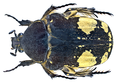 Gymnophana ? spec. 1 (14491818133).png