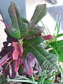 HK Mid-levels High Street clubhouse green leaves plant February 2019 SSG 82.jpg