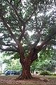 HK SMP 秀茂坪邨 Sau Mau Ping Estate Campion tree silk July 2018 IX2 (6).jpg