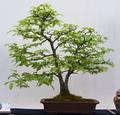 Hainbuche Bonsai.png