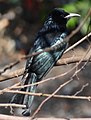 Hair-crested Drongo (Spangled Drongo) - Dicrurus hottentottus - DSC04603 (cropped).jpg
