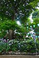 Hakusanjinja-bunkyoku-tree-June13-2015.jpg