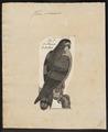 Haliaeëtus macei - 1782-1825 - Print - Iconographia Zoologica - Special Collections University of Amsterdam - UBA01 IZ18100327.tif