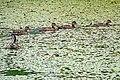 Halifax NS-02379 - Got all my ducks in a row..... (29064189125).jpg