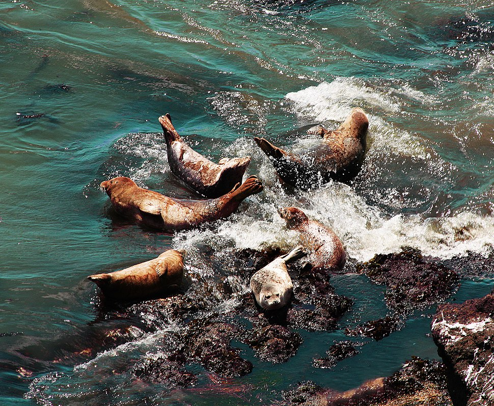 Harbor seal rocks