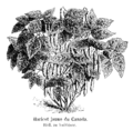Haricot jaune du Canada Vilmorin-Andrieux 1904.png