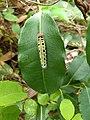 Hasora badra- Common Awl, pulliyaara, kandal aara. caterpillar .jpg