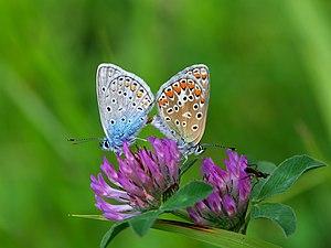 Common blue - Image: Hauhechel Bläuling, Polyommatus icarus Paarung 1