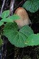 Haus-Tintling Coprinellus cf domesticus 5478.jpg