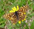 Heath Fritillary. Mellicta athalia. topwing (16185019842).jpg