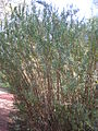 Heimia salicifolia 1c.JPG