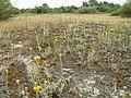 Helichrysum arenarium kz09.jpg