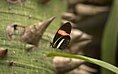 Heliconius erato (Florida Museum of Natural History) 58.jpg