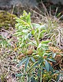 Helleborus foetidus in Aveyron (5).jpg