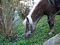 Hellmähniges Shetlandpony beim Grasen.JPG