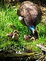 Henne Blauer Pfau mit Küken Wildpark Alte Fasanerie Juni 2012.JPG