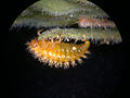 Henosepilachna argus larva.jpg