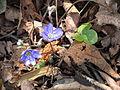Hepatica nobilis002.jpg