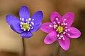 Hepatica nobilis flowers - blue and pink - Keila.jpg