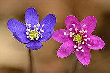 Hepatica nobilis flowers - blue and pink - Keila.jpg