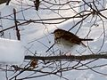 Hermit Thrush - Flickr - treegrow.jpg