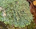 Heterodermia casarettiana (4502441407).jpg