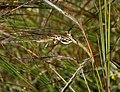 Heteropogon contortus W IMG 3505.jpg