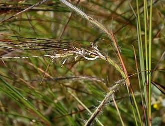 Heteropogon - Image: Heteropogon contortus W IMG 3505