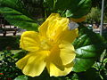Hibiscus-rosa-sinensis-20070919.JPG