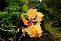 Hibiscus Hybrid (5217001822).jpg